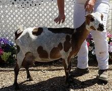 Mini-LaMancha Goats - Sunspring Ranch, Goats for sale Utah, Lamancha